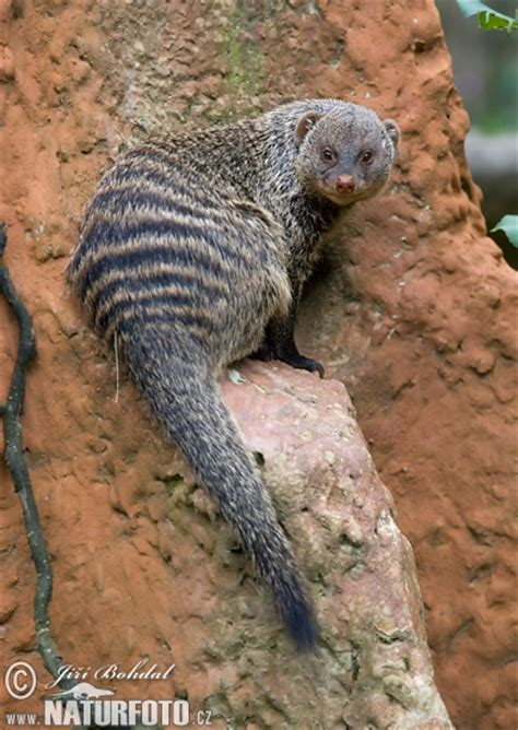 Mungos mungo Pictures, Banded Mongoose Images, Nature