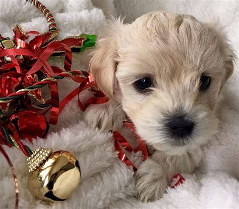 puppy for sale, goldendoodles for sale, puppies, ny, adopt