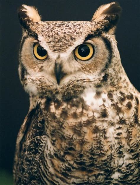 Portrait of a Great Horned Owl - Pentax User Photo Gallery